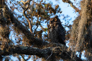 Great Horned Owl by Enigma-Fotos