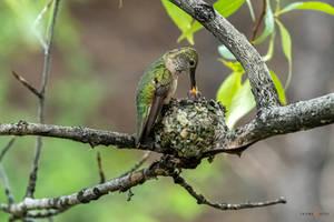Hummingbird Mother Feeding Baby
