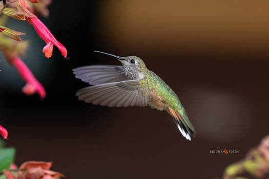 Caught in Flight - Hummingbird
