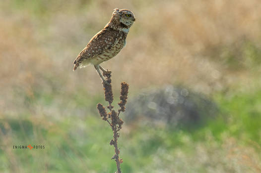 Male Burrowing Owl Perched