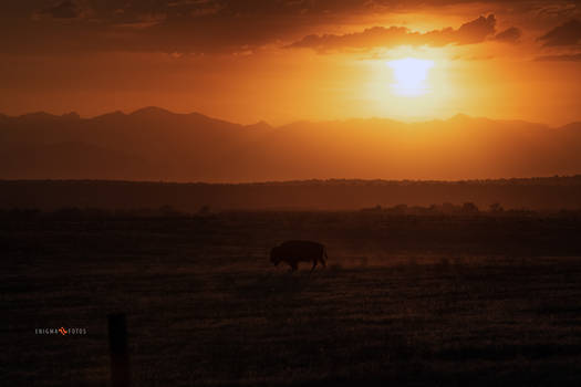 A Bison and a Sunset
