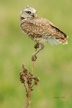 Perched Male Burrowing Owl
