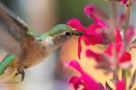 A beautiful Hummingbird feeding.