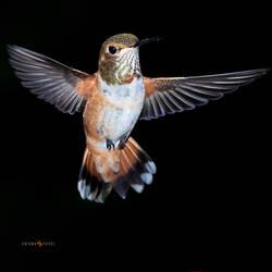 A beautiful Rufous Hummingbird caught in flight
