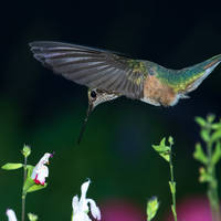 Hummingbird about to feed