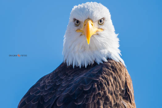 A Bald Eagle Portrait