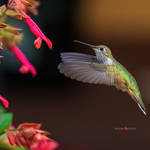 Broad Tailed hummingbird in flight