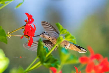Broad Tailed Hummingbird feeding