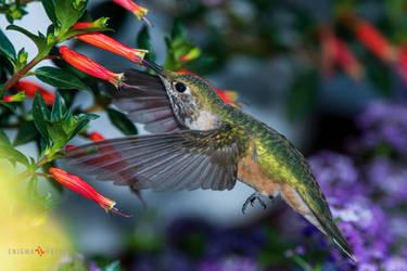 A Broad-tail feeding.