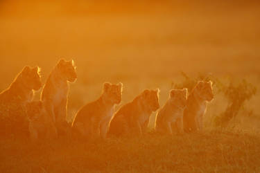 Lion cubs welcoming the sunrise