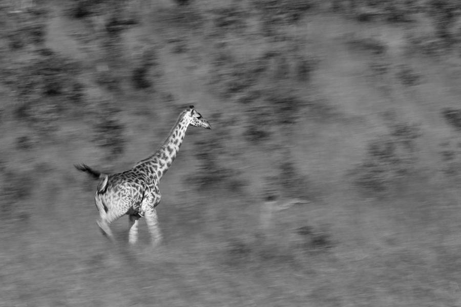 running giraffe by serhatdemiroglu