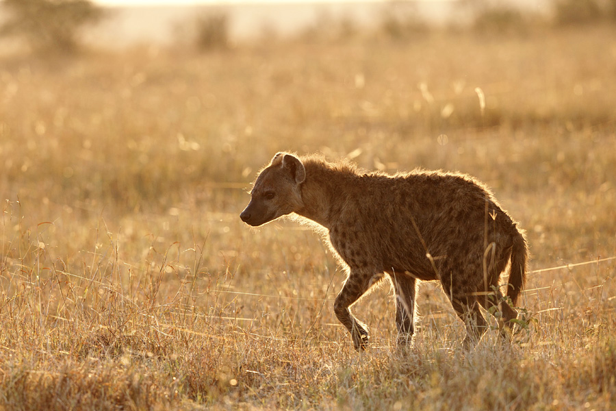 hyena at sunrise by serhatdemiroglu