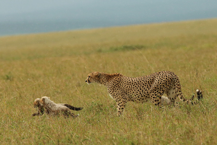 Cheetah and cubs by serhatdemiroglu