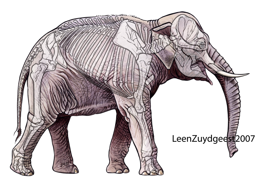Asian elephant with skeleton by LeenZuydgeest on DeviantArt
