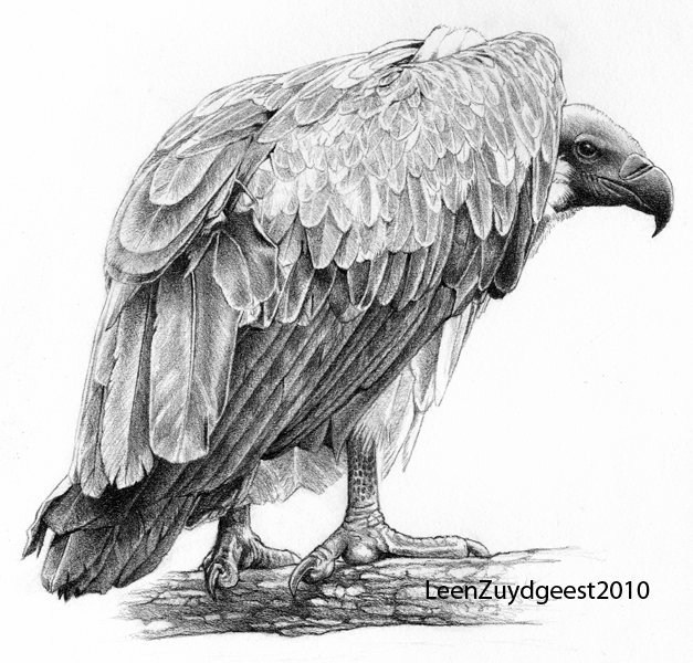 White-backed vulture by LeenZuydgeest