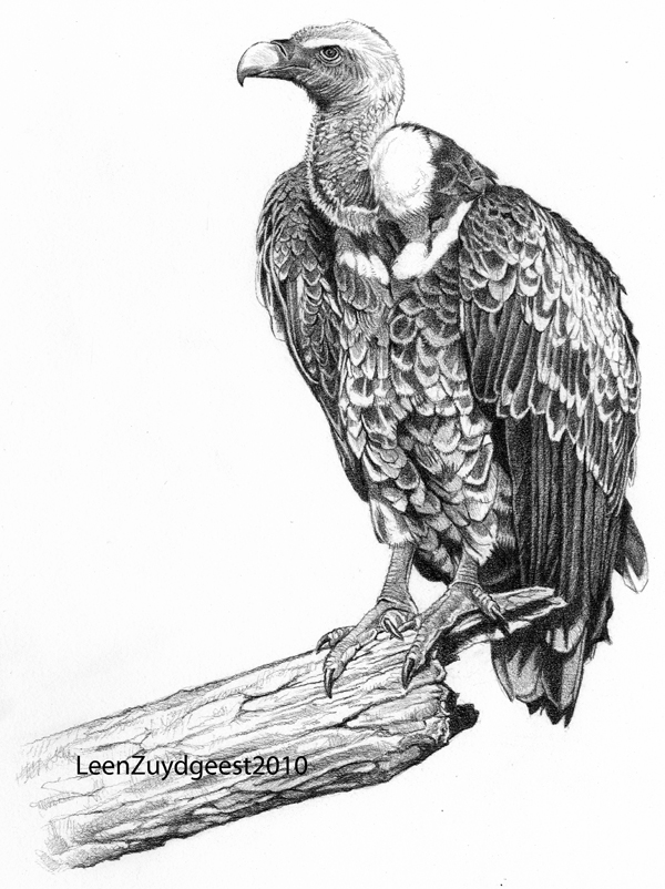 Rueppellsu0026#39; Vulture By LeenZuydgeest On DeviantArt