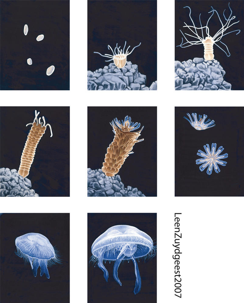 Jellyfish lifecycle by LeenZuydgeest