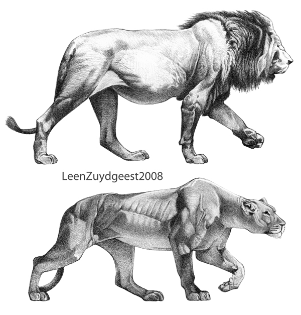 how to draw a lion and lioness