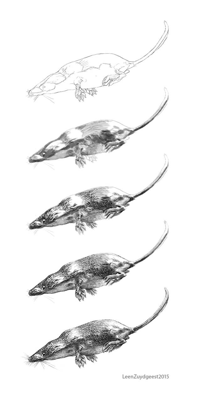How to  draw a Eurasian water shrew tutorial