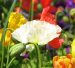 Poppy by dreaming-of-serenity