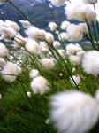 CloseEriophorum