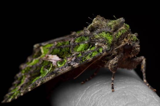 Orache Moth being friendly