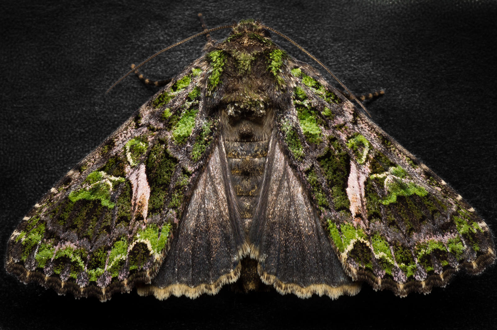 Orache Moth by FreezingGlare