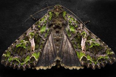 Orache Moth by FreezingGlare
