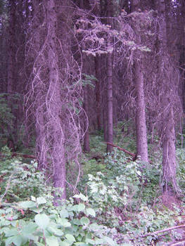 purple forest stock
