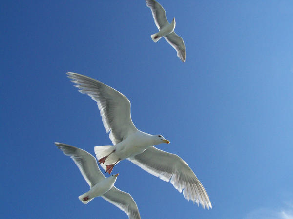 Bird in flight 2 stock by Aphoticbeauty