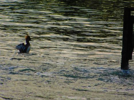 Female Hooded Merganser Fishing in Tidal Lagoon