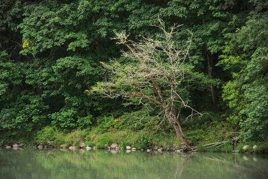 Tree On The Bank