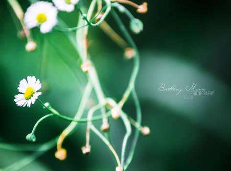 little daisies.