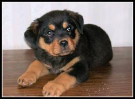 Puppy by Simba83