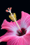Close Hibiscus by Chillstice