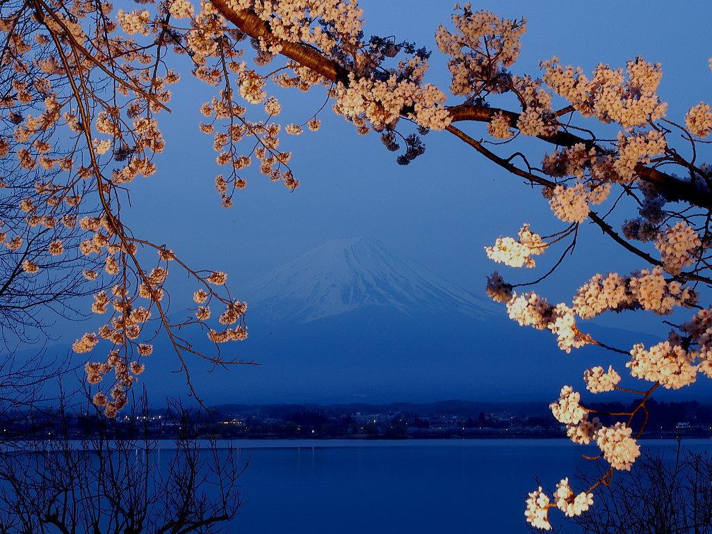 Sakura by Misaki-dono
