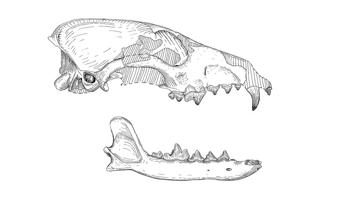 canis edwardii skull and jaws by desertsabertooth on deviantart