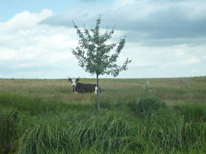 Tree and Cows