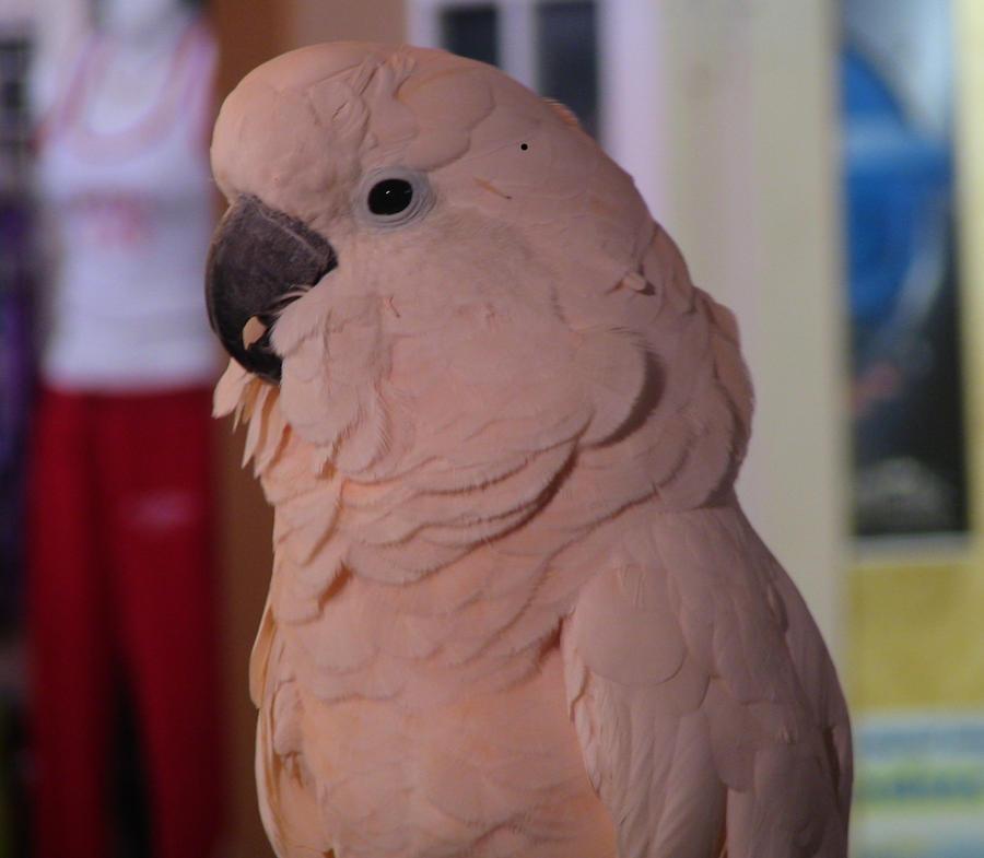 Bird Umbrella Cockatoo wallpaper