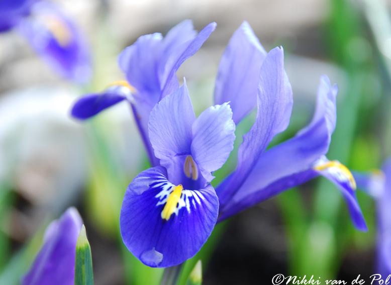 Springtime Promises by Nikki-vdp