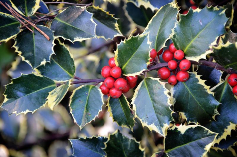 Winter berries by Nikki-vdp