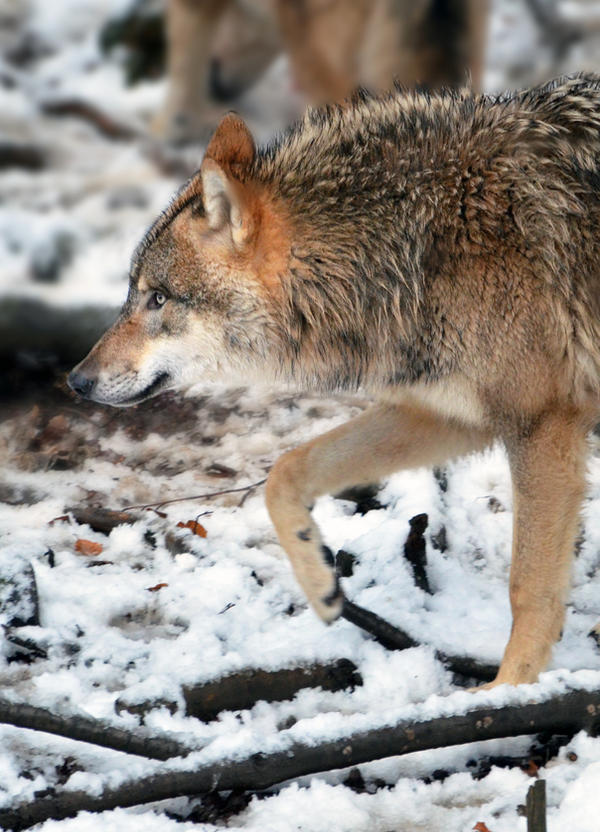 One Two Wolfie's Coming For You by Nikki-vdp