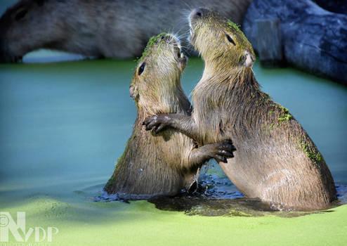 Aqua squabble