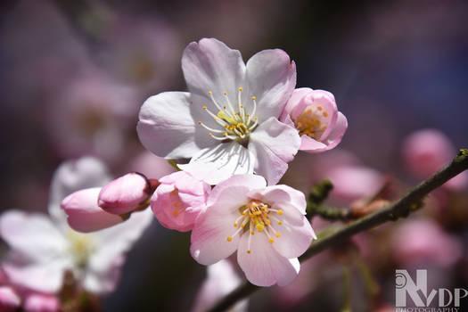 Buddings pinks