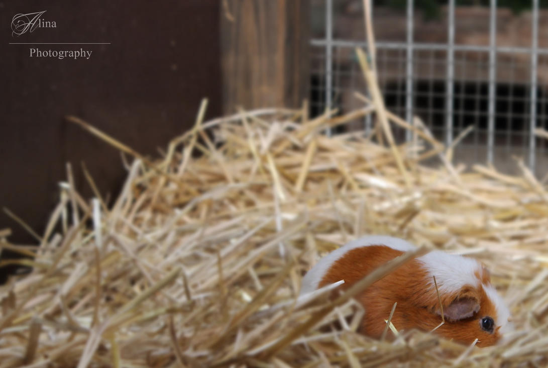 Guinea pig by Alina-lovely