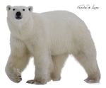 Bear polar PNG