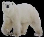 Bear polar PNG