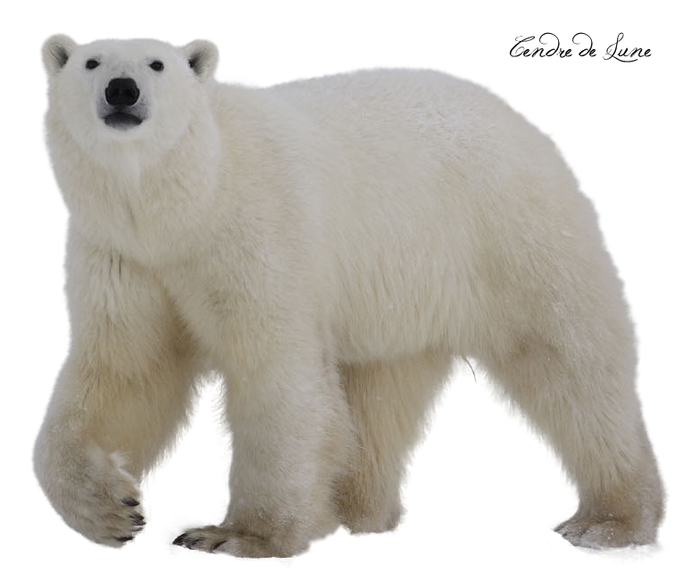 صور سكرابز صور دببة ابيض سكرابز دببة png صور دببة bear_polar_png_by_cendredelune-d5lzjrs.png
