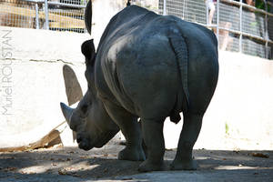 Rhinoceros by cendredelune