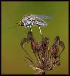 Strange Fly by sapog